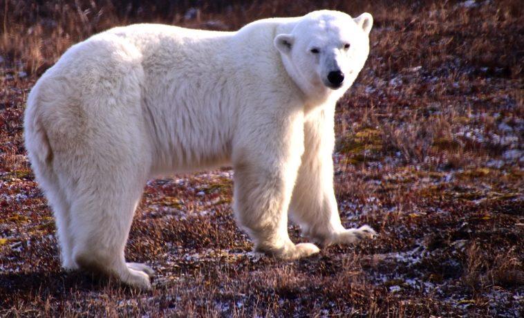 Reise zu den Polar Bären in Kanada